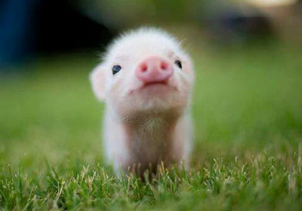 Pigs Happiness ♡ Minipig Yolo Swag Little Baby