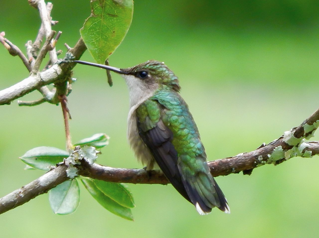 Beautiful stock photos of hummingbird, Animal Themes, Animal Wildlife, Animals In The Wild, Beak