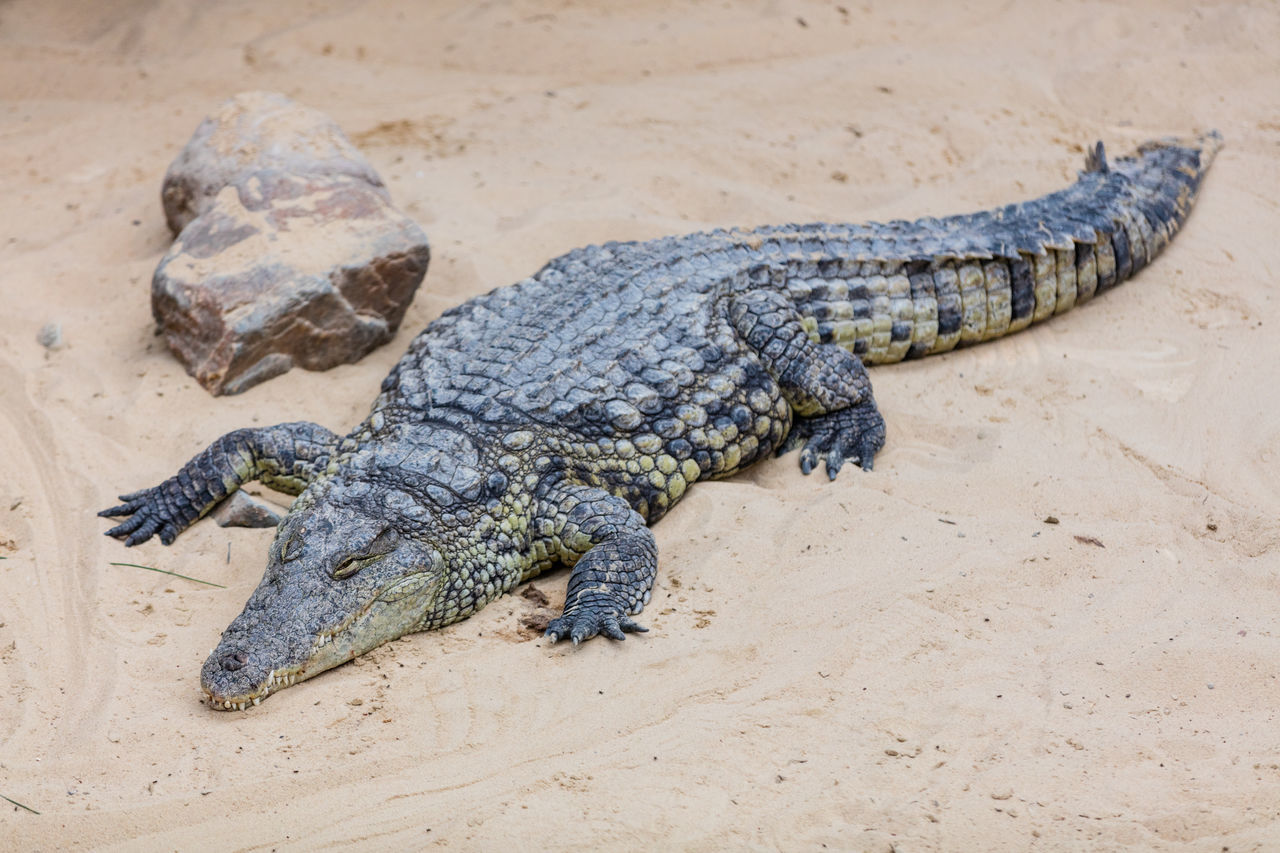 Beautiful stock photos of crocodile, Amphibian, Animal Markings, Animal Themes, Animal Wildlife