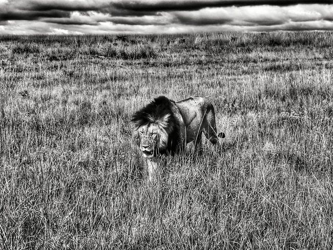 Animal Themes Nature One Animal No People Outdoors Mammal Animals In The Wild Day Landscape Lions Lion Lion King  Cats Africa African Safari Safari Mufasa Scar Savannah South Africa Game First Eyeem Photo EyeEmNewHere EyeEm Nature Lover EyeEm Best Shots