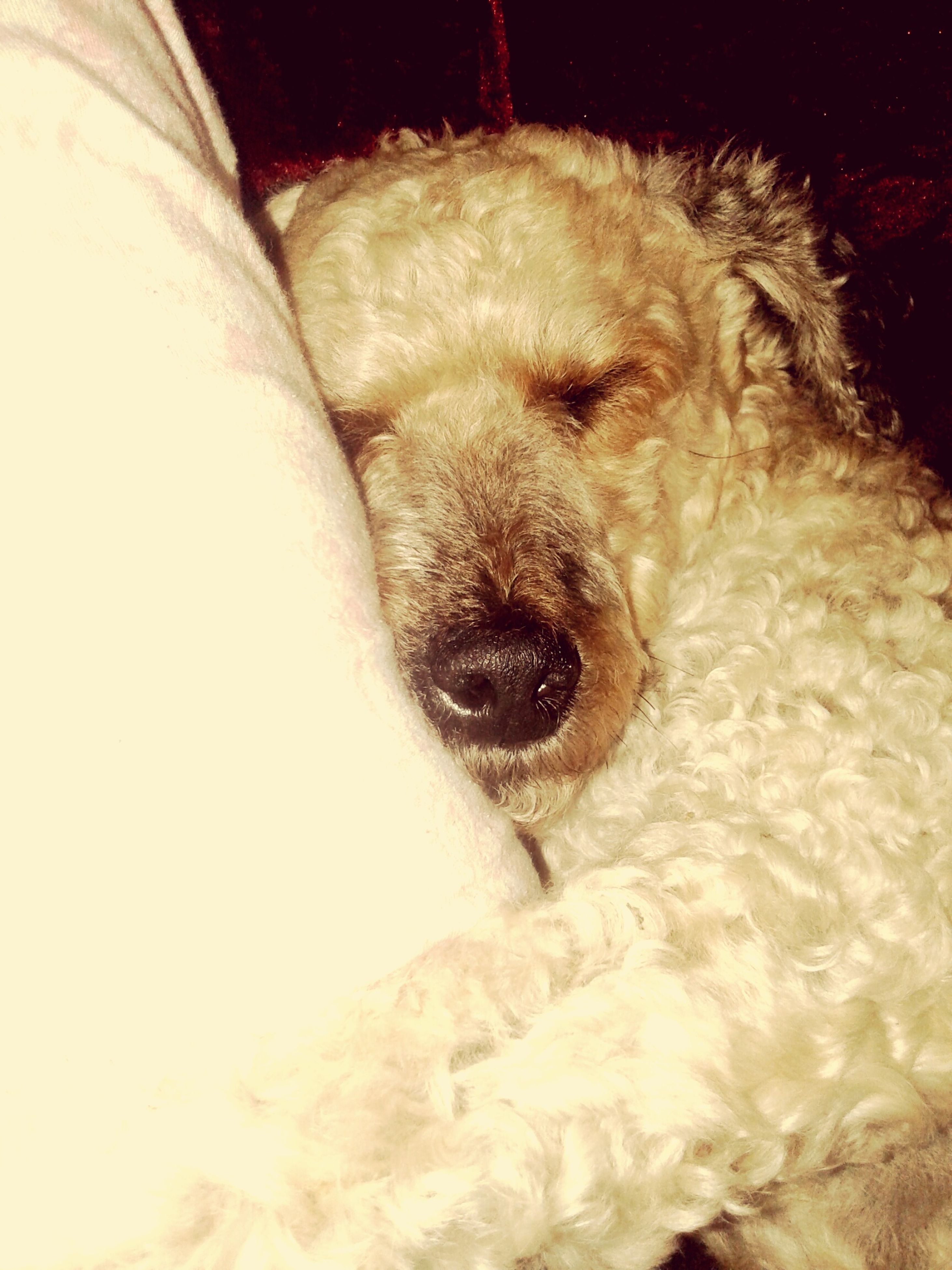 pets, one animal, animal themes, domestic animals, dog, mammal, indoors, white color, sleeping, relaxation, close-up, animal head, resting, animal body part, eyes closed, animal hair, lying down, no people, cold temperature, snow