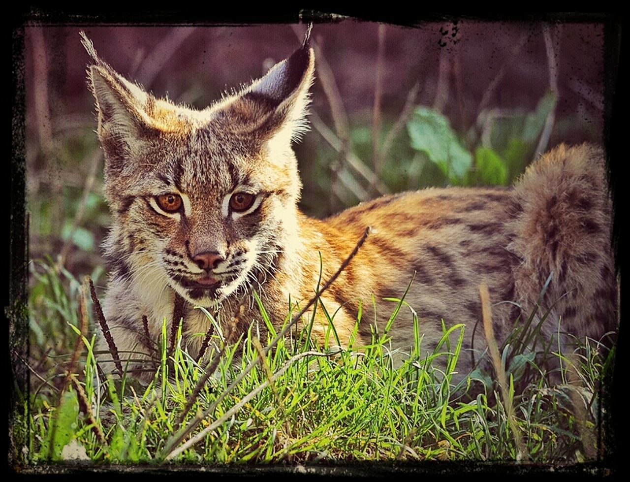 one animal, animal themes, looking at camera, portrait, mammal, domestic cat, feline, pets, day, domestic animals, animals in the wild, no people, outdoors, grass, sitting, nature, close-up, cheetah