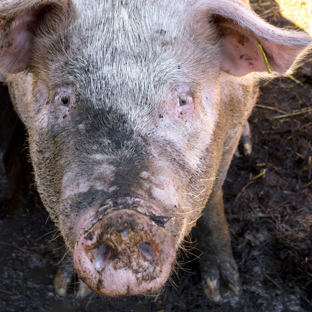 Dirty pig in mud on the farm looking the camera Animal Themes Death Dirt Dirty Farm Food HOG Livestock Massacre Mud Nose Oink Pig Piggy Piglet Pigsty Pink Pork Proteins Rural Scene Slaughterhouse Snout The Culture Of The Holidays Vegan Vegetarian Food