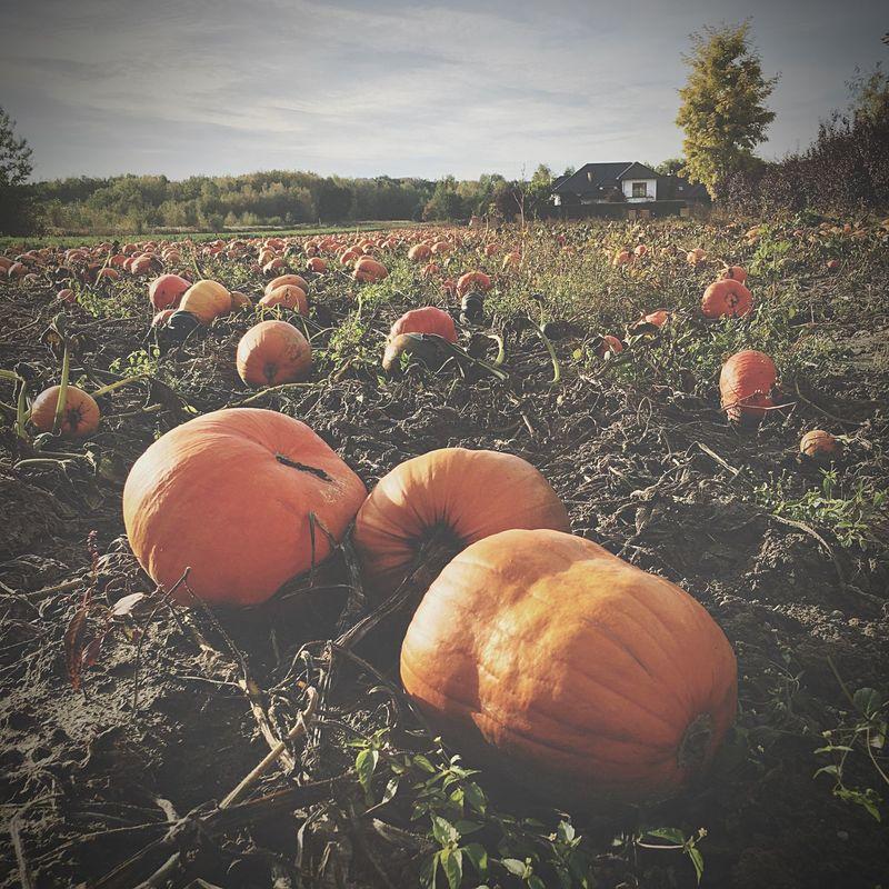 Pumpkin Field Rural Scene Agriculture Farm