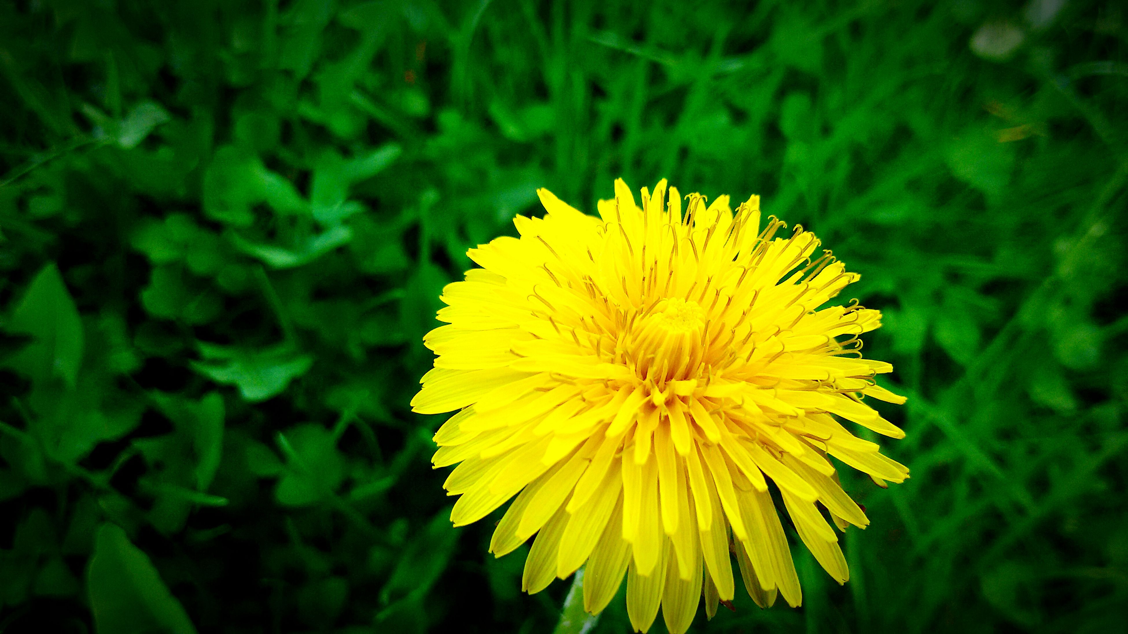 flower, yellow, freshness, flower head, fragility, growth, petal, single flower, beauty in nature, close-up, nature, plant, pollen, blooming, focus on foreground, dandelion, field, in bloom, outdoors, day