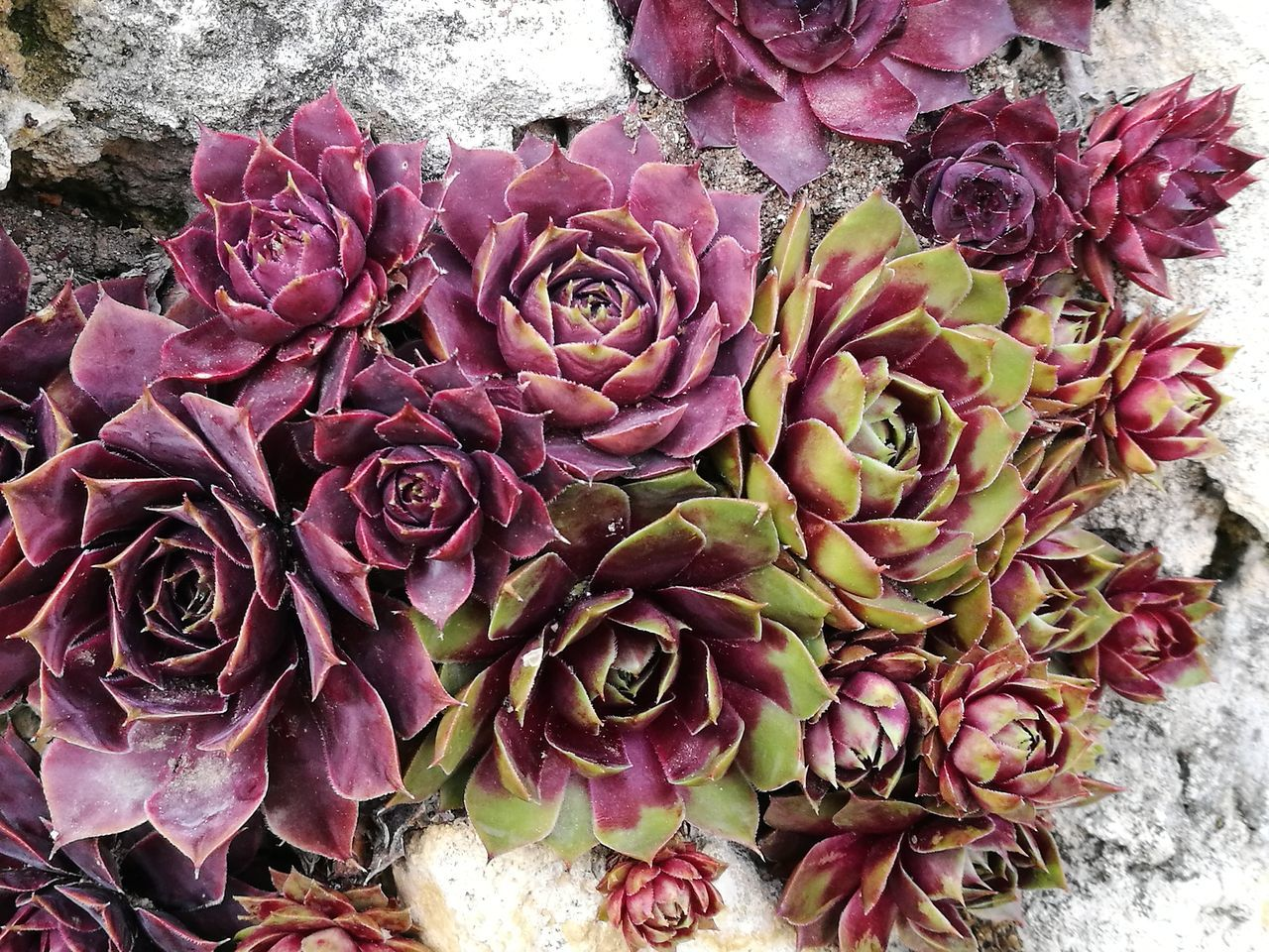 Wine-red Sempervivum Beauty In Nature Leaf Close-up Growth Red Leaves