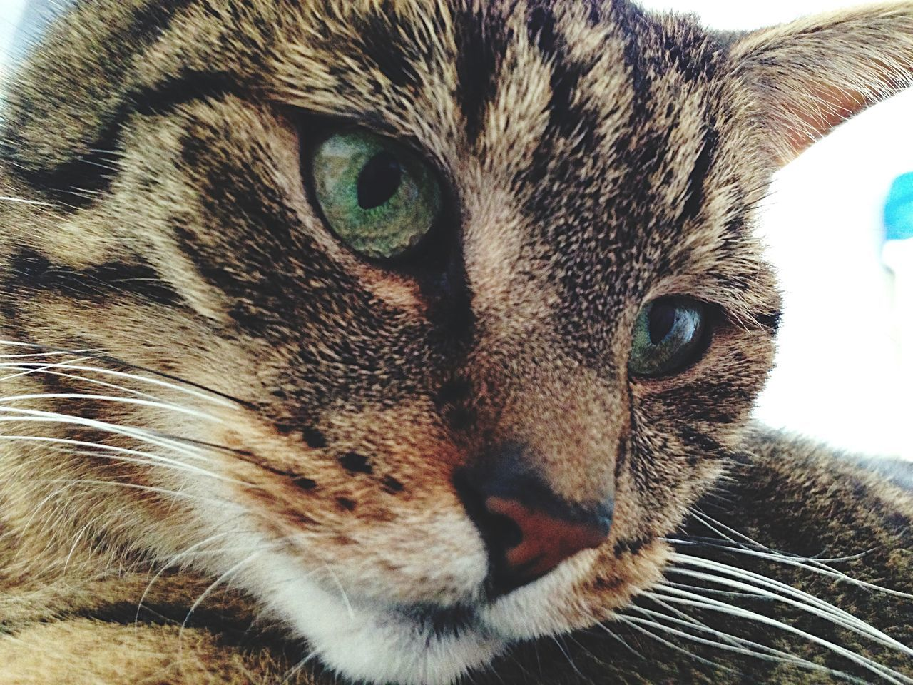 domestic cat, one animal, animal themes, portrait, pets, looking at camera, whisker, close-up, feline, mammal, domestic animals, animal head, no people, indoors, day, yellow eyes