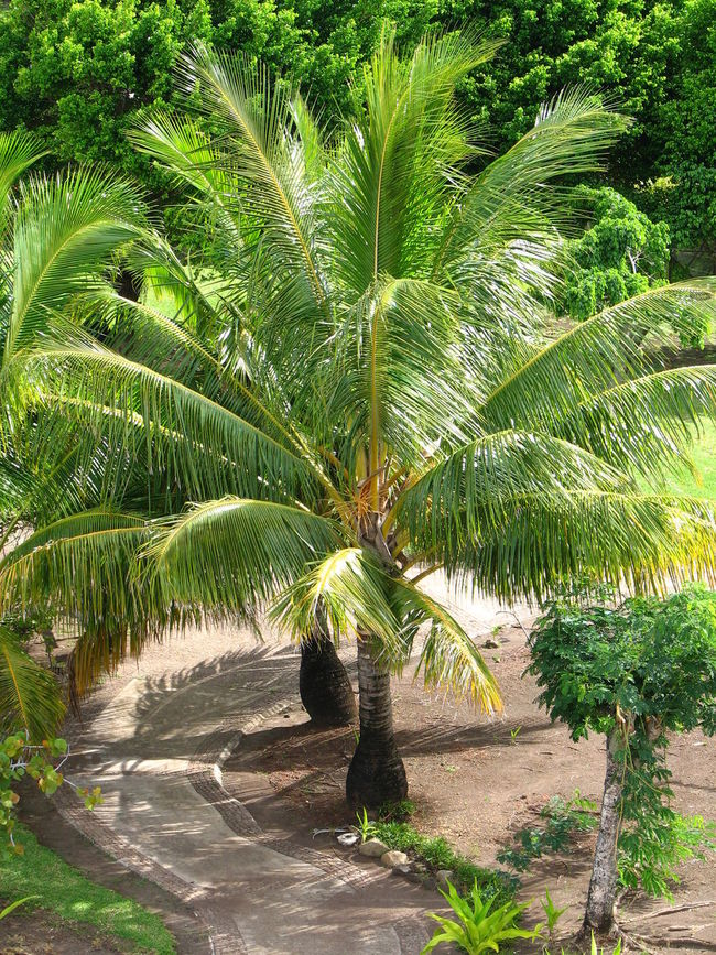 Beauty In Nature Day Frond Green Color Growth Nature No People Outdoors Palm Tree Plant Tree Exotic Garden Path Through The Trees