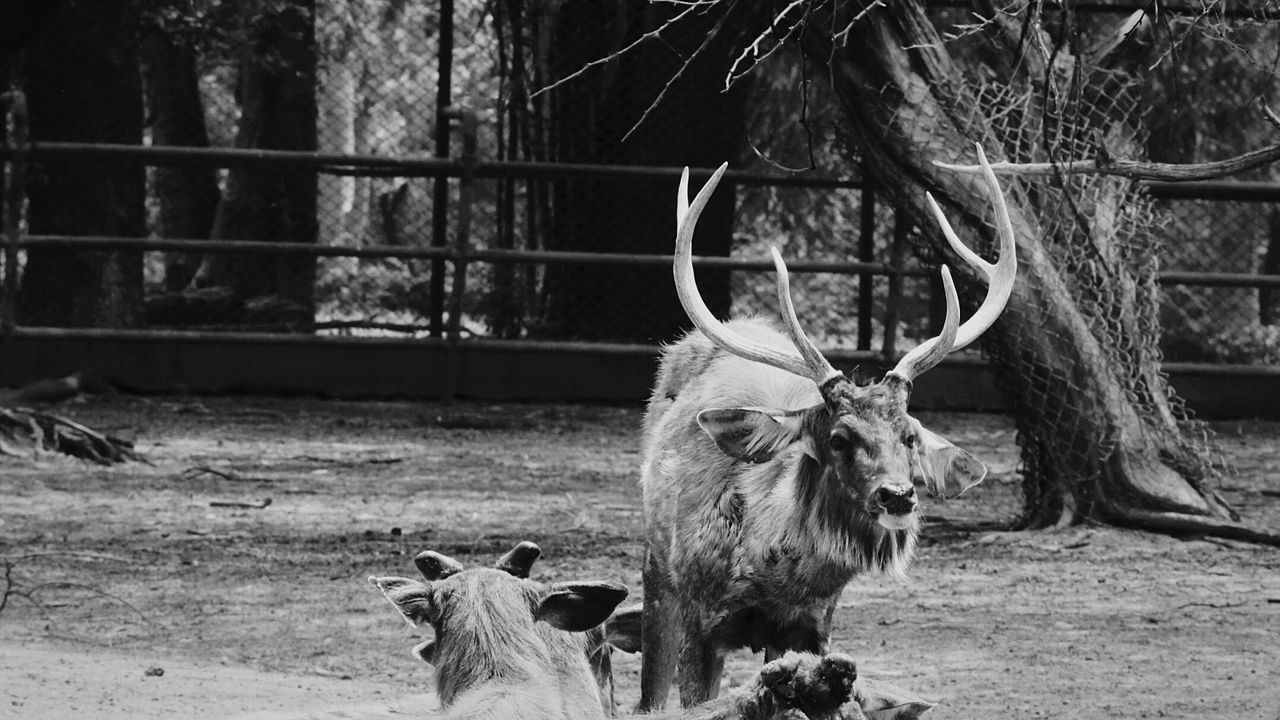 Animal Themes Animal Wildlife No People Animals In The Wild Nature Outdoors Deer Horns Deers Nature Beauty Peace B/W Photography Day Portrait