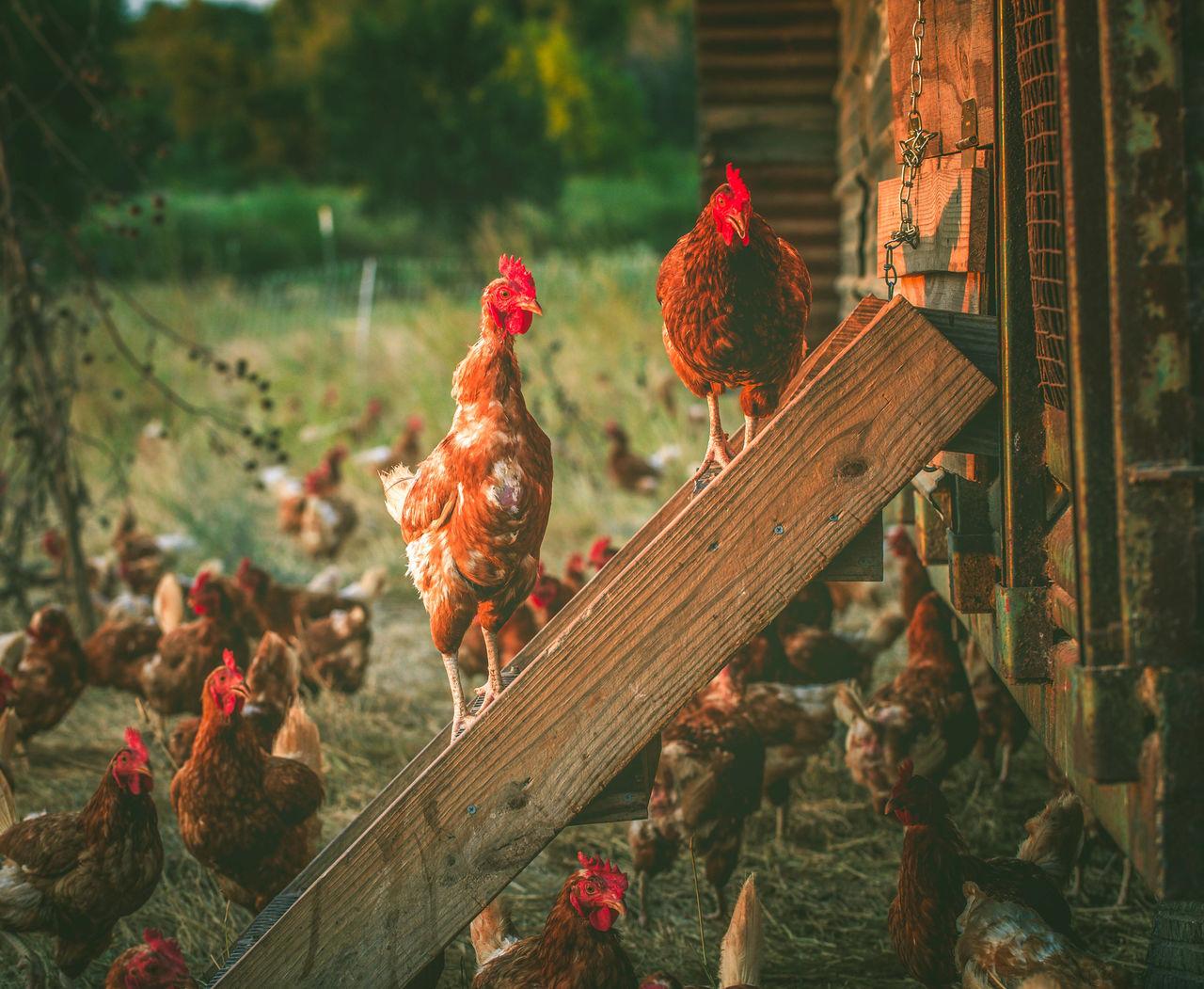 Beautiful stock photos of chicken,  Agriculture,  Bird,  Chicken,  Chicken Coop
