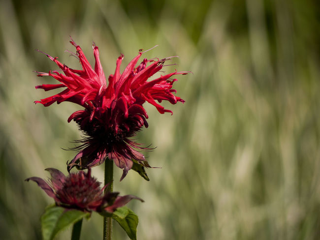 Bee-balm Blossom Close-up Flower Flower Head Fragility Freshness Growing Growth In Bloom Monarda Didyma Petal Plant Red Selective Focus Stem Vibrant Color