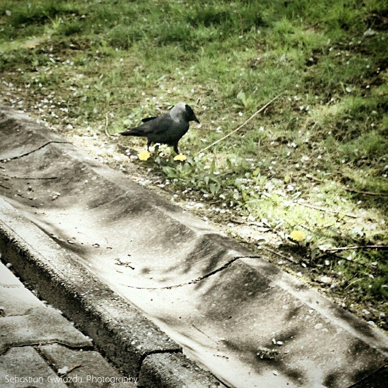 Sony Xperia Z1 Bird Photography Jastrzębie - Zdrój Kawka Coloeus Monedula