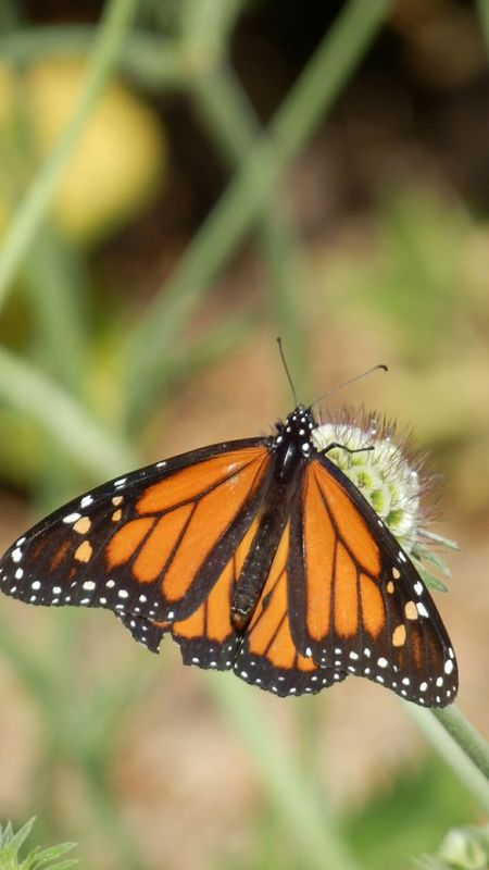 Butterfly Insect Photography Insects  Insect Photo Butterflies Butterfly ❤ Butterfly - Insect Butterfly Wings Butterfly Monarch Butterfly Monarch Butterfly On Flower.