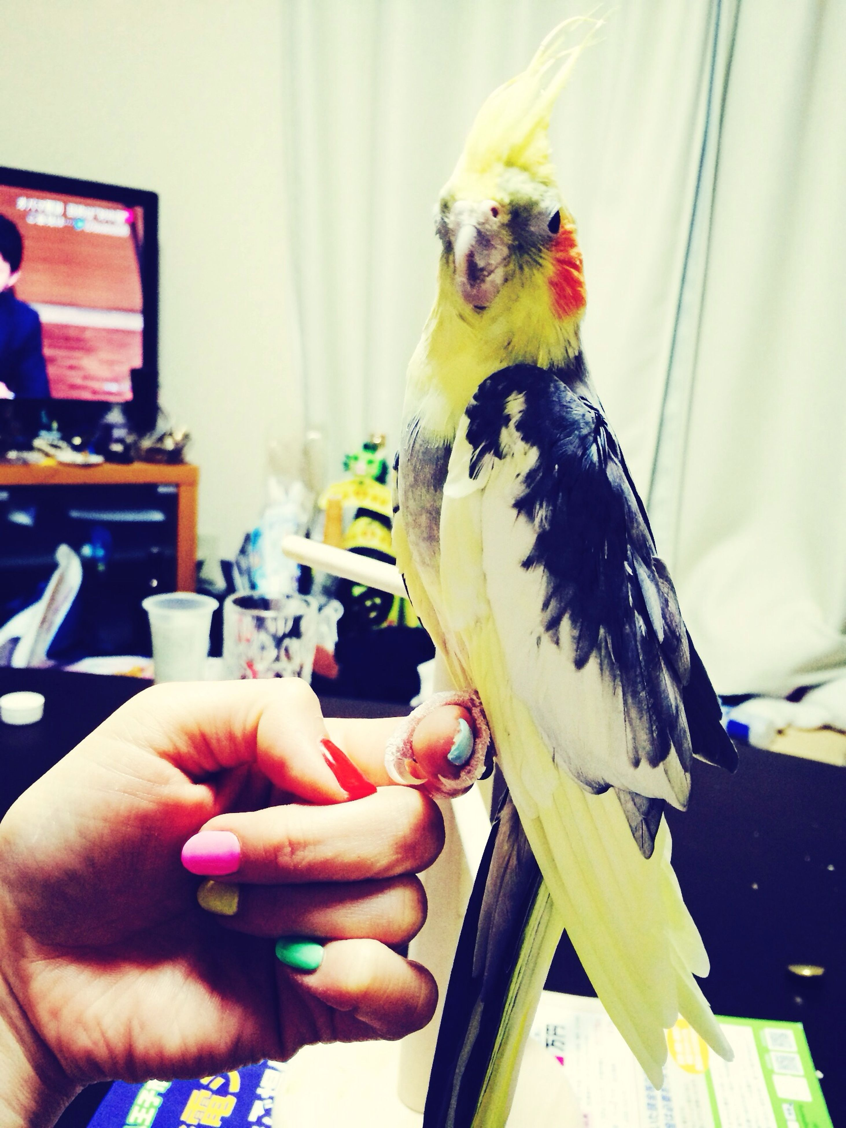 one animal, animal themes, person, holding, indoors, pets, part of, bird, domestic animals, cropped, lifestyles, unrecognizable person, human finger, focus on foreground, leisure activity, close-up, men