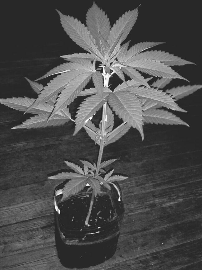 Blackandwhite Photography Plantas Flores Y Frutos Mariguana Marijuana - Herbal Cannabis Growweedmy