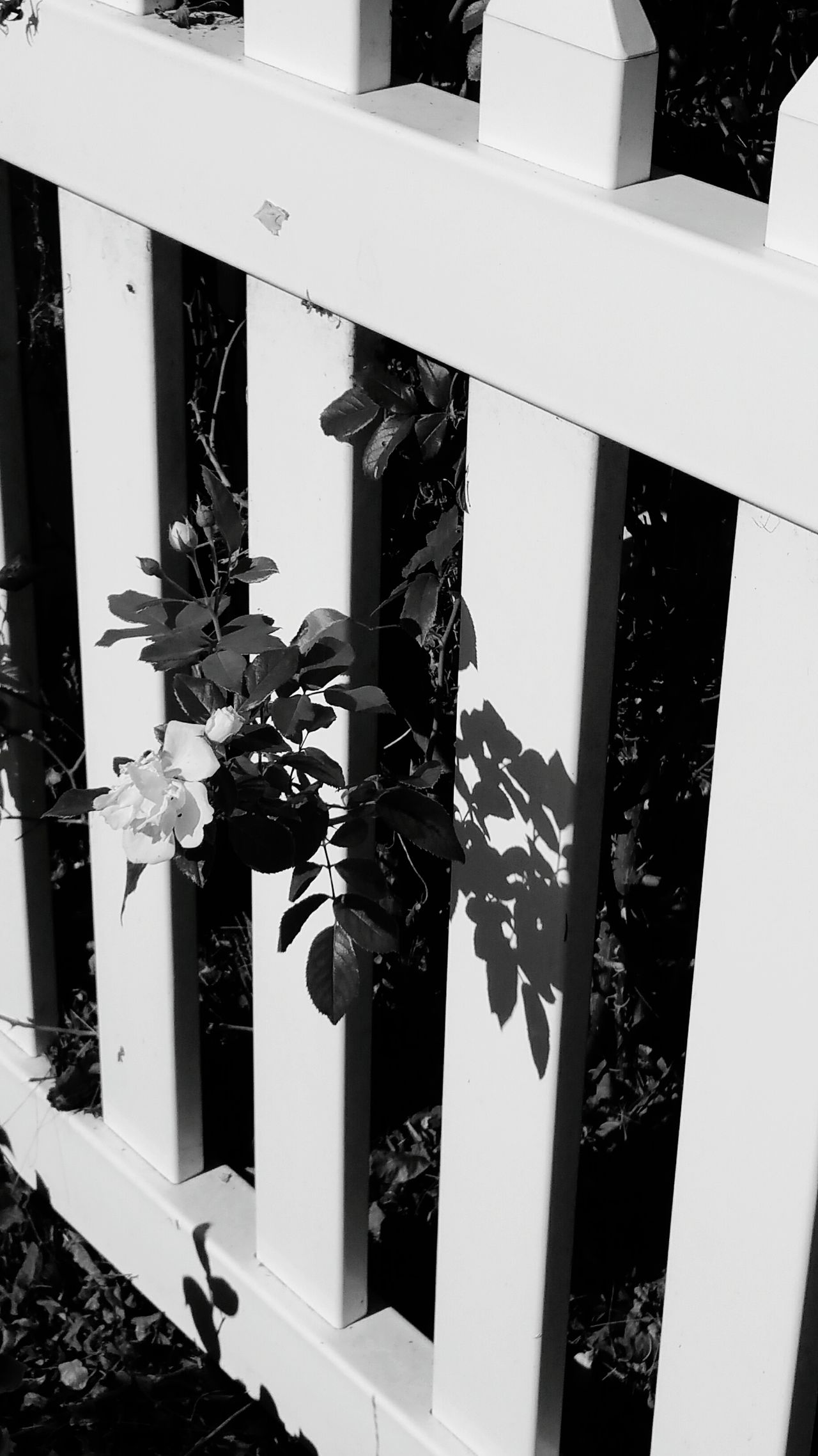 Fence White Fence Black & White Blackandwhite Photography Flower Through Fence Flower Flower Collection Leaves Lines