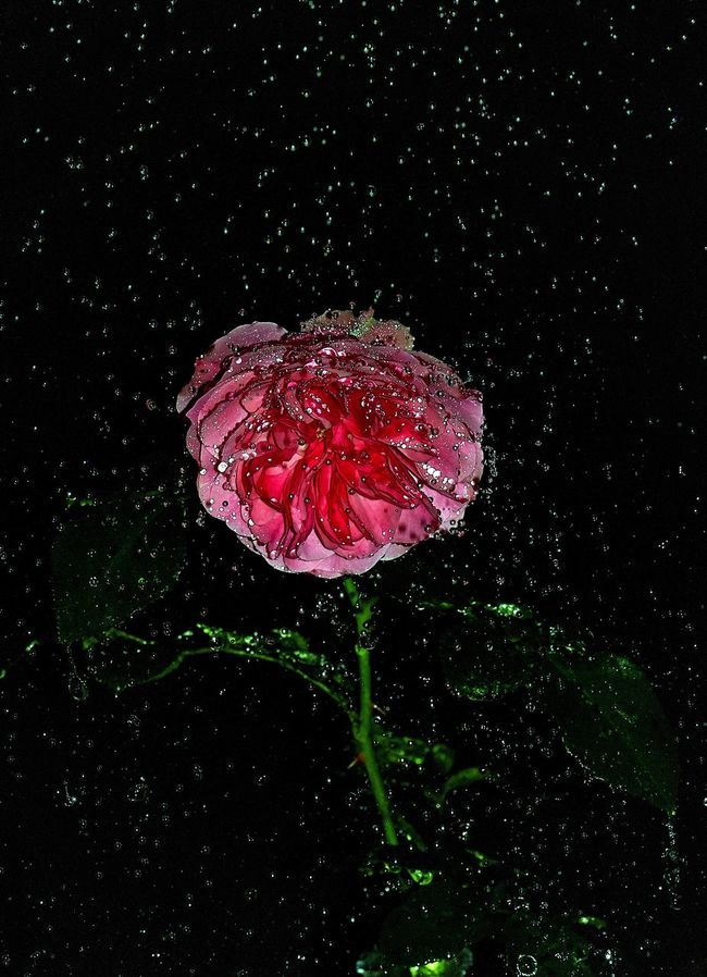 """The rose has brought a lot of joy in his life and has filled his life with bright paints, but then there was a misunderstanding and tension, they have quarreled. Little Prince has taken offense at Rose, without understanding that her whims are a way to draw attention to themselves, but he doesn't know yet what is love... (Antoine de Saint-Exupéry) Flower Fragility Petal Flower Head Freshness Single Flower Water Springtime Season  Wet Close-up Drop RainDrop In Bloom Beauty In Nature Blossom Pink Color Nature Red Vibrant Color EyeEm Best Shots Canon Russia"