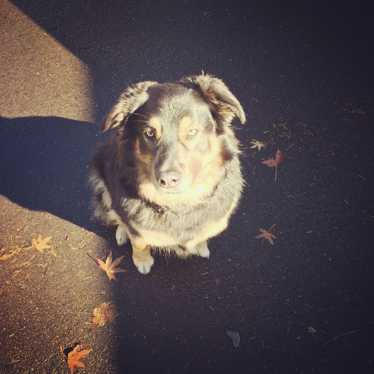Pets Dog Shadows & Lights Shepherd Aussie Golden Eyes Furry Friends Dogs Of EyeEm