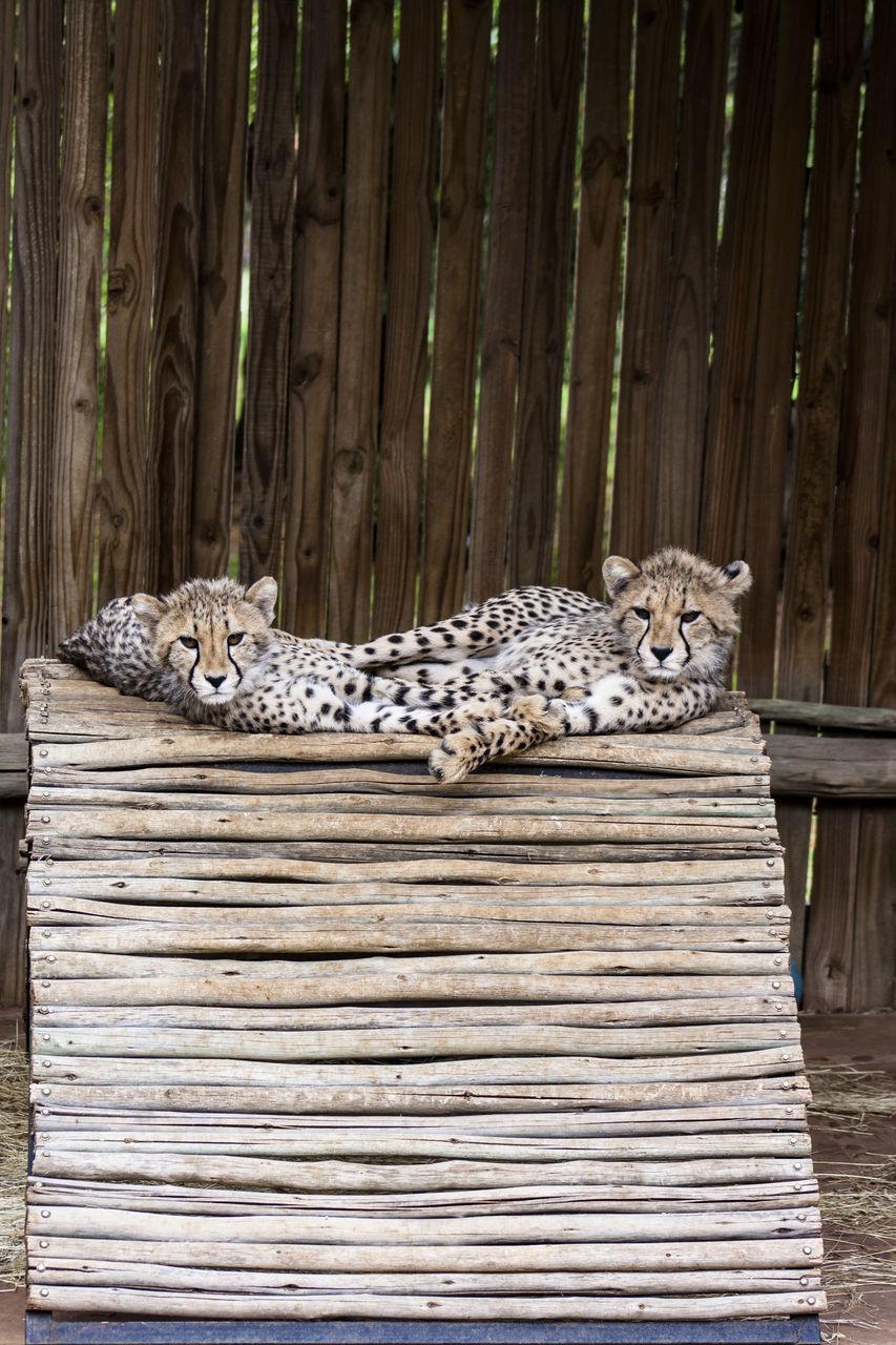animal themes, one animal, animals in the wild, feline, lying down, animal wildlife, no people, mammal, leopard, outdoors, nature, tiger, day, portrait, animal markings, safari animals, cheetah