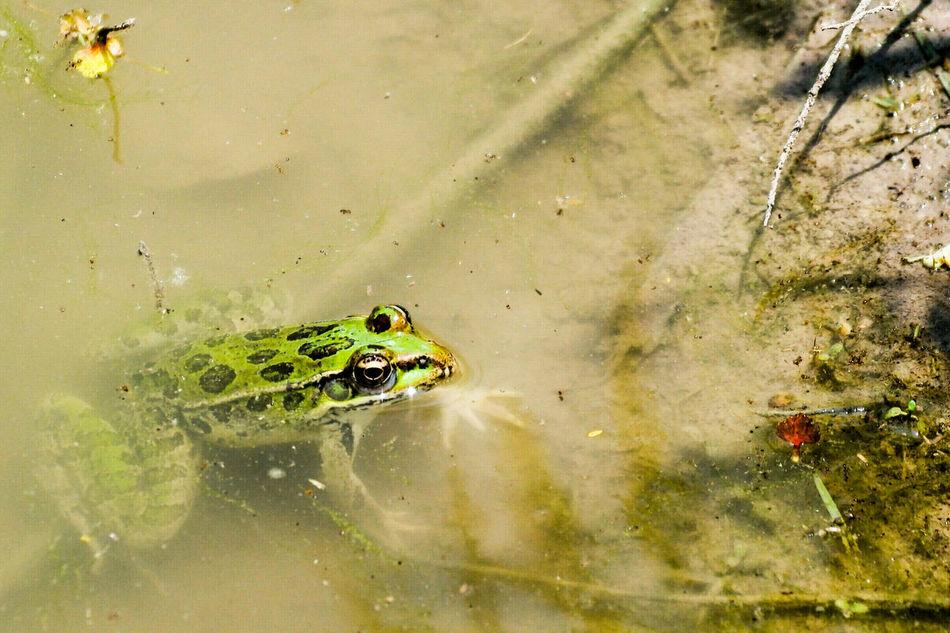 Beautiful stock photos of frosch, Amphibian, Animal Themes, Animal Wildlife, Animals In The Wild