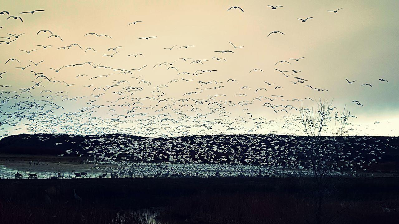 Showcase: February Bosque Del Apache Ascension Of Birds Birds🐦⛅ Birds_collection Birdwatching Bird Photography Bird Refusage New Mexico