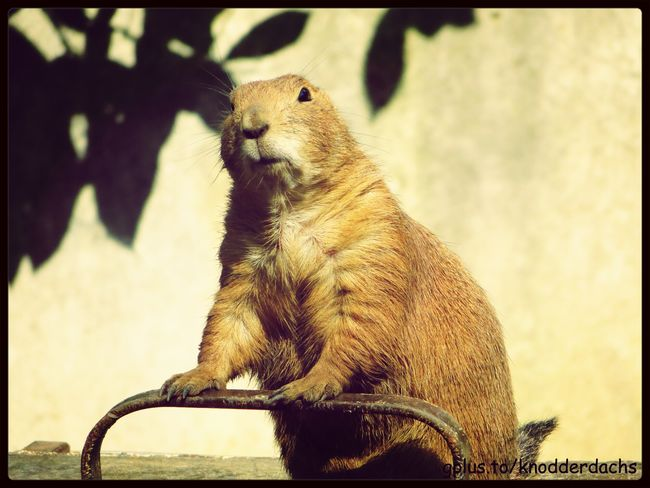 Präriehund Prairie Dogs Animals Tiere