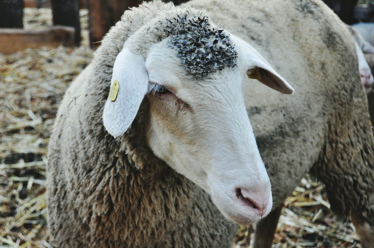 Capture The Moment Animals Esslingen Sheep Wool Lamb Ewe Bestofgermany Nature Animal Photography
