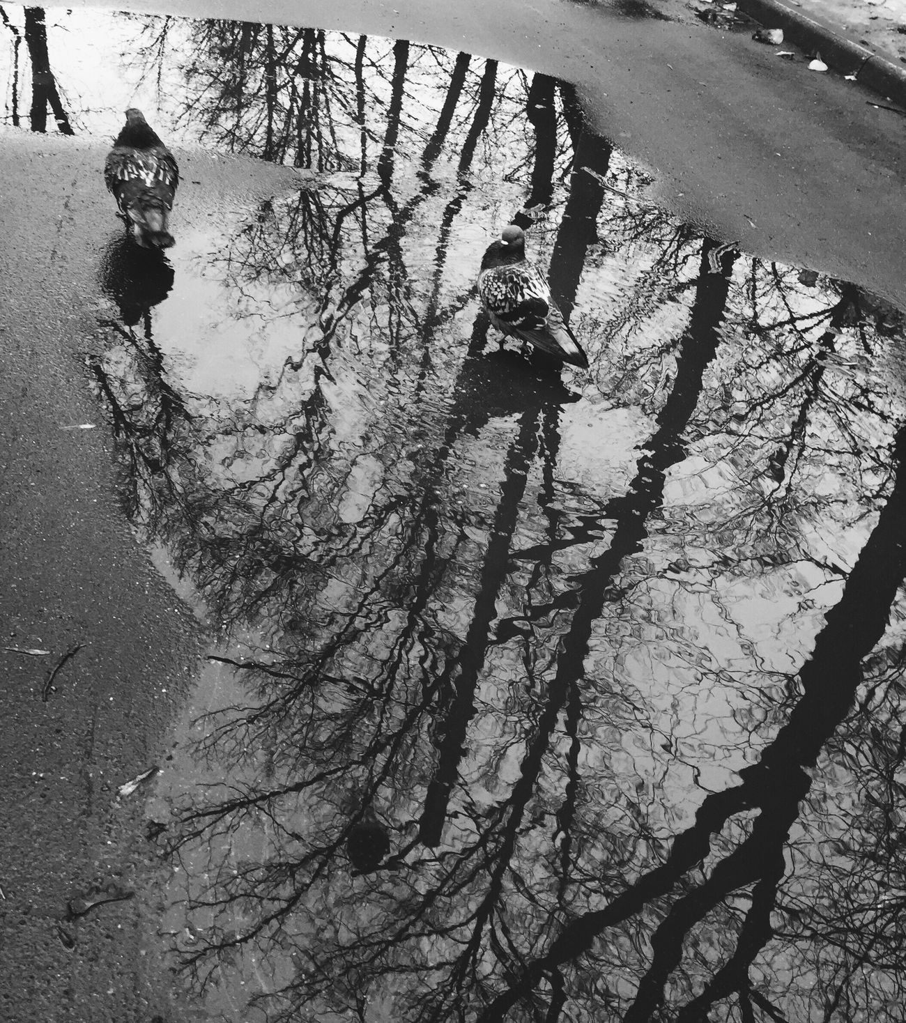 Day Full Length Outdoors Water Nature Pigeon Puddle Springtime Pigeons Puddleography Trees Reflection Blackandwhite