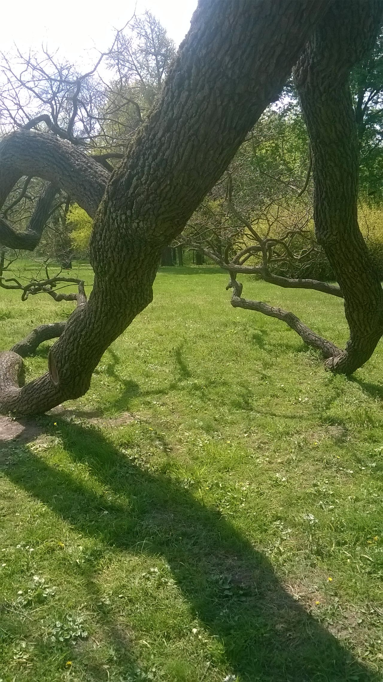 English Oak Growth Tree Day Nature No People Grass Sunshine ☀ Shadow
