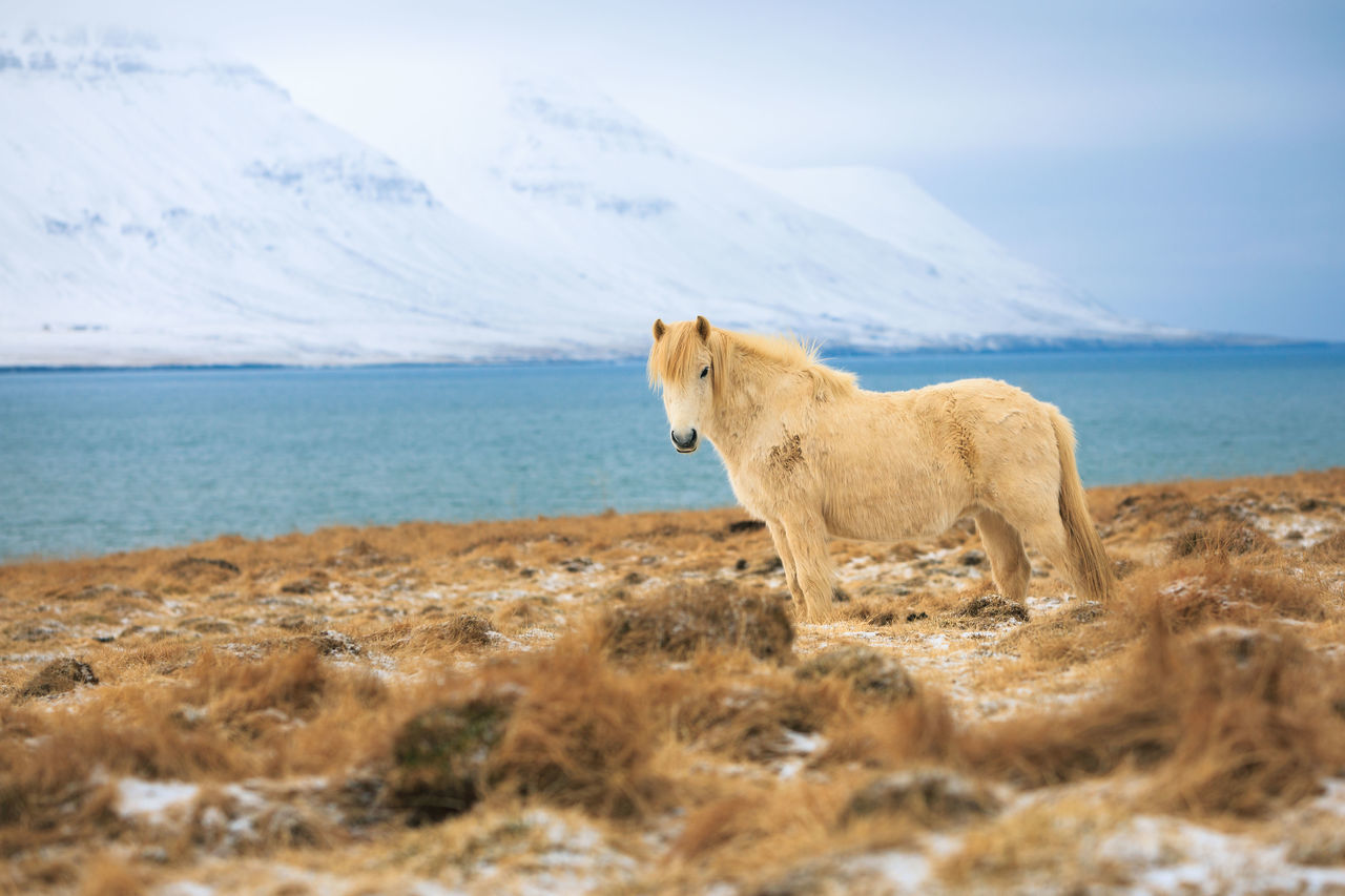 Animal Themes Animals In The Wild Beauty In Nature Day Domestic Animals Iceland Iceland Pony Landscape Mammal Mountain Nature No People One Animal Outdoors Scenics Sea Sky Snow Water
