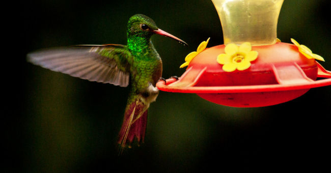 Animal Themes Bird Flying Bird Hummingbird Motion No People One Animal Outdoors