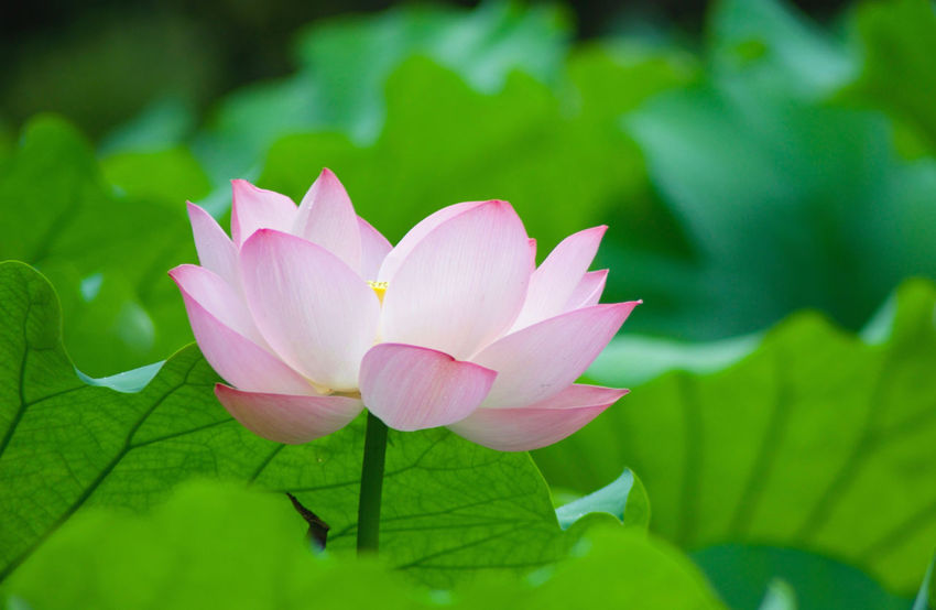 Flower Beauty In Nature 3XSPUnity Lotus Water Lily Lotus Flower Head Lotus Flowers Lotus Leaves No People Green Color