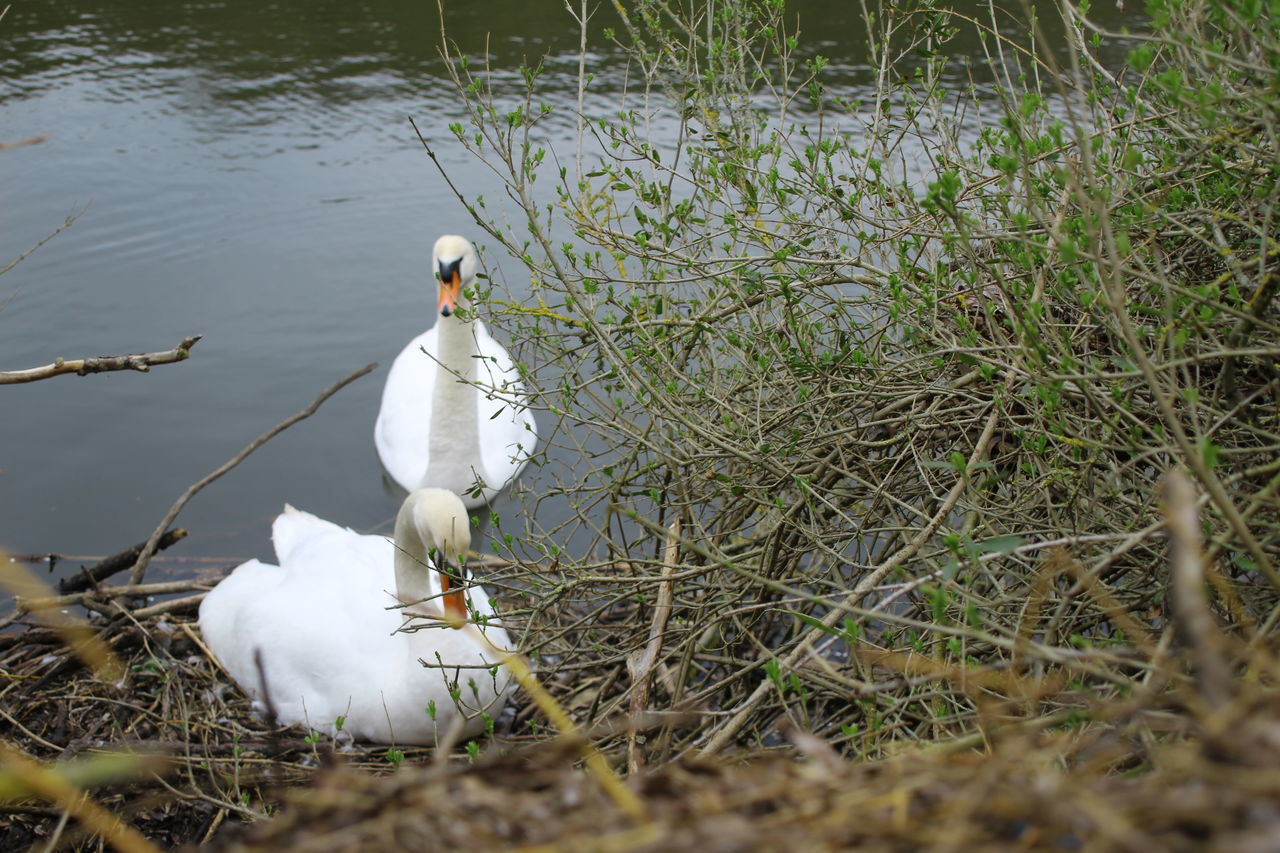white color, animal themes, animals in the wild, water, lake, nature, bird, day, outdoors, animal wildlife, water bird, swan, grass, one animal, no people, beauty in nature