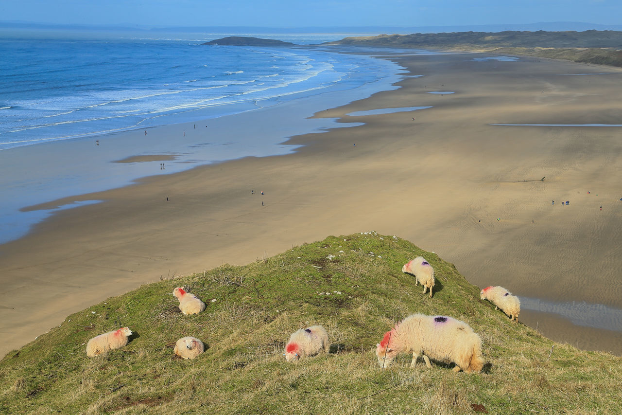 Rhossili Bay Wales UK Animal Themes Beach Beauty In Nature Day Domestic Animals Gowercoast Grass High Angle View Livestock Mammal Nature No People Outdoors Scenics Sea Sky Tranquility Water