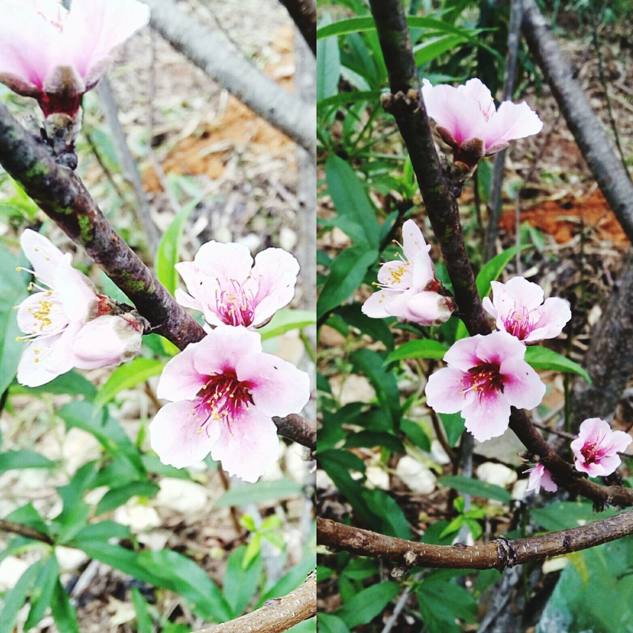 flower, fragility, growth, freshness, beauty in nature, blossom, nature, petal, pink color, flower head, springtime, day, tree, close-up, no people, apple blossom, botany, branch, twig, stamen, outdoors, high angle view, blooming