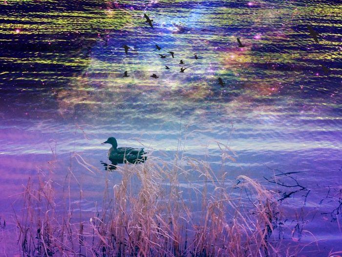 Birds Duck Swim Water_collection