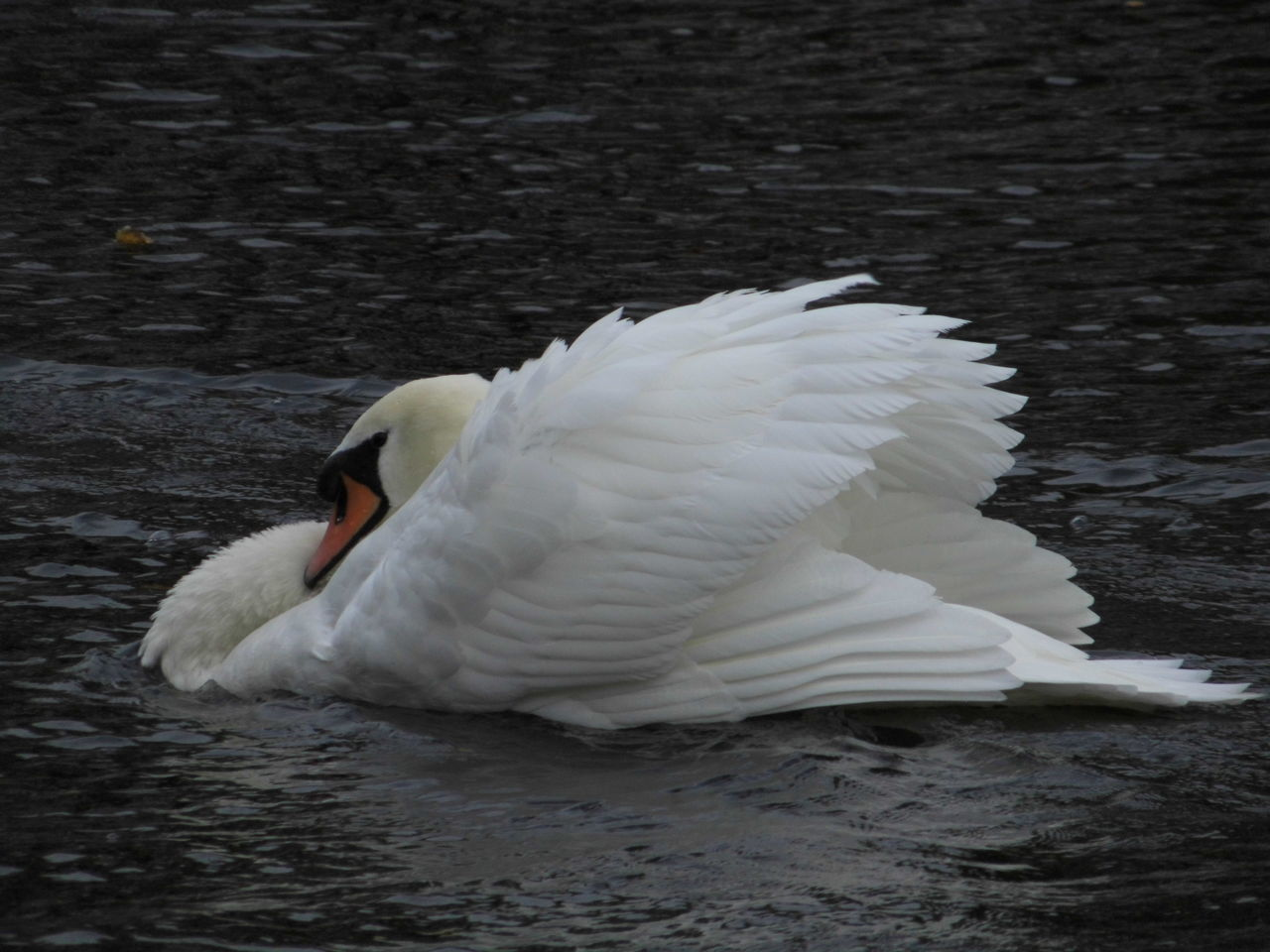 Swan Floating On Water