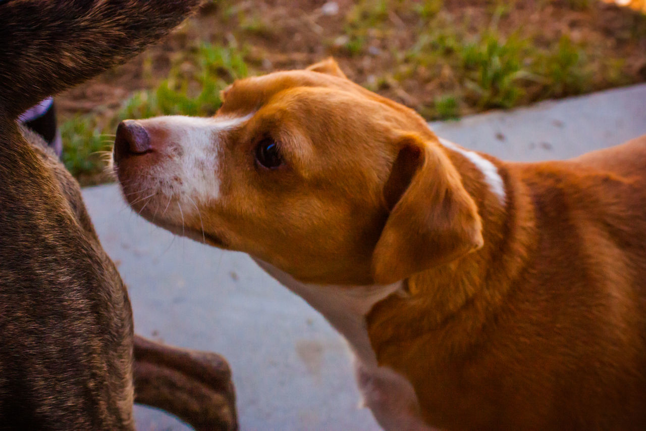 Animal Head  Animal Themes Brown Canine Close-up Dog Dog Love Dog Sniffing Dor Doglover Dogs Dogs Of EyeEm Dogs Playing  Dogs Playing Together Dogslife Dogstagram Dog❤ Domestic Animals Mammal One Animal Outdoor Playtime Pets Playing Outside Sniffing Sniffing Dog Snout
