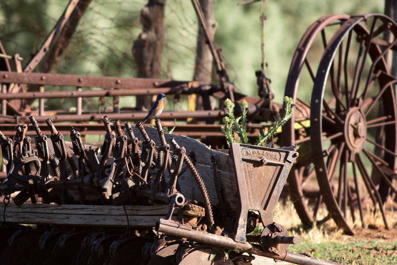 Western Bluebird Antique Tractor Birds Old Machines Farming Old But Awesome Rustic Charm Rustic Beauty Animals Animals In The Wild Ghost Town Utahghosttown Utah BeUTAHful Canon I Hope My Pictures Touch Your Hart Canon 5d Mark Lll Grafton Ghost Town Bluebirds