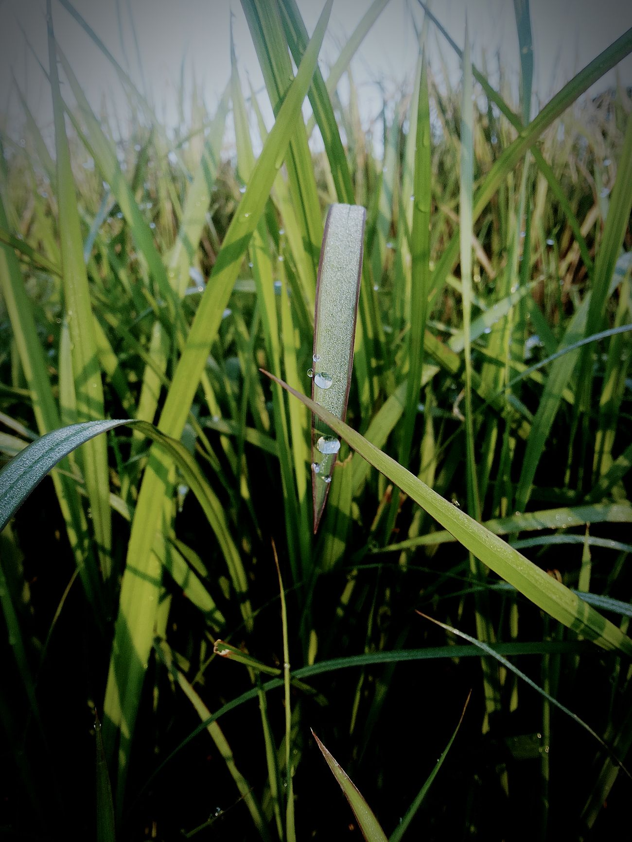 Grass Green Color Growth Beauty In Nature Tranquility Outdoors Freshness Dew Water Nature Wet Close-up Plant Growth Grass Green Color Plant Close-up Blade Of Grass Wet Drop Nature Dew Water Focus On Foreground