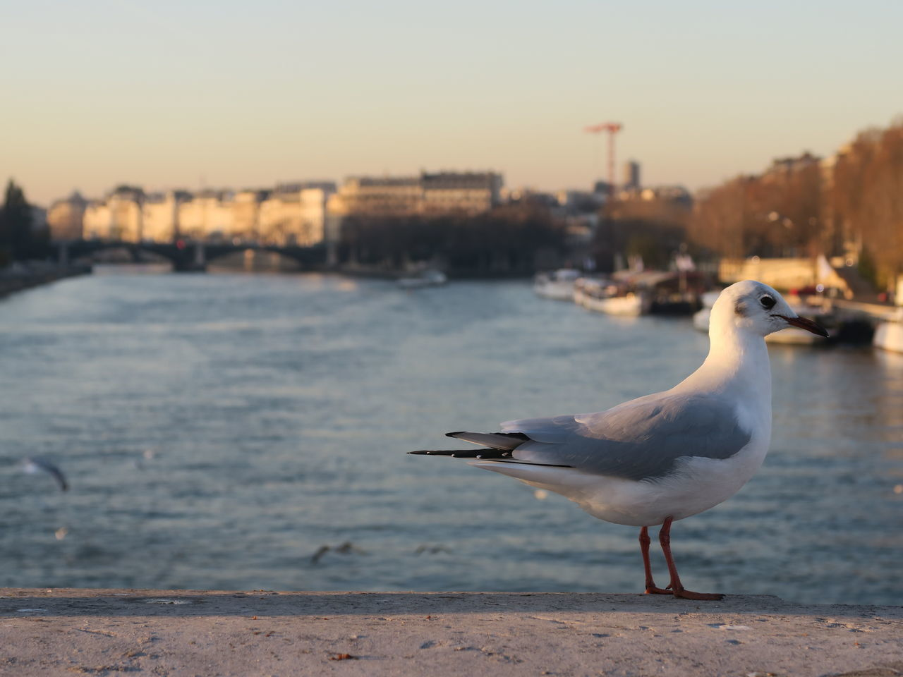 Gull, spotted at a Paris' scene Animal Themes Animal Wildlife Animals In The Wild Bird Bird Photography Birds Birds_collection Black-headed Gull Bridge Charles De Gaulle Down By The River Focus On Foreground Gull Gulls Gulls And Sky Outdoors Paris Paris, France  Perching Sea Bird Seagull Seine Seine River Troublemaker Winterplumage