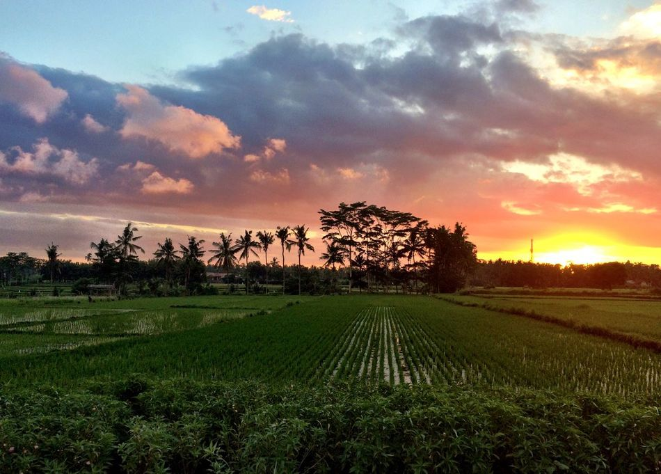EyeEmNewHere Bali Ubud INDONESIA Rice Field Palm Tree Sunset Beauty In Nature Landscape Nature First Eyeem Photo Wanderlust Summer No People Outdoors Traveling Tranquility Tranquil Scene Sky Cloud - Sky Grass Rice Paddy Silence Backpacking