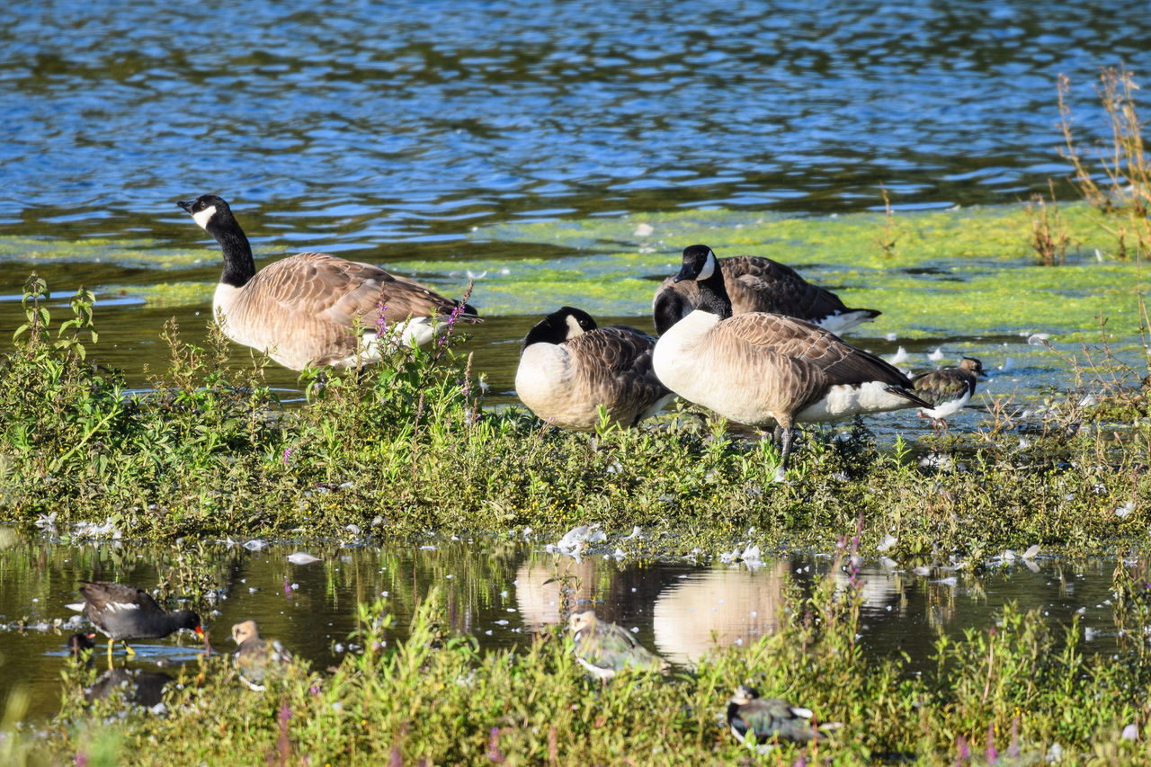 bird, animals in the wild, animal themes, water, young bird, lake, animal wildlife, nature, outdoors, day, young animal, no people, goose, togetherness, beauty in nature