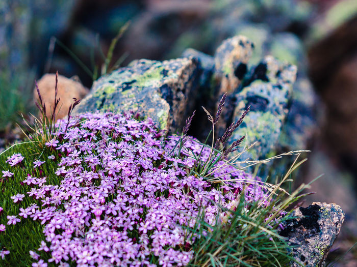 Beauty In Nature Blossom Botany Close-up Flower Flower Head In Bloom Natural Pattern Nature Outdoors Purple Rock - Object Rocky Mountain National Park Rocky Mountains Selective Focus The KIOMI Collection Tundra Communities Trail