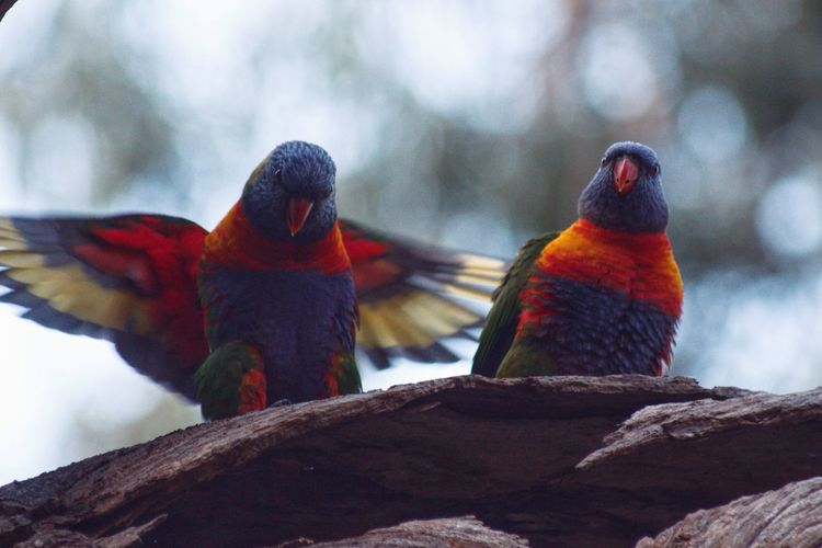 Lorikeets pt. 2 Morialta Conservation Park Animals In The Wild Perching Animal Themes Bird Two Animals Animal Wildlife Day Nature Rainbow Lorikeet Outdoors Focus On Foreground No People Beauty In Nature Parrot Branch Low Angle View Tree Close-up EyeEm Selects Rainbowlorikeet