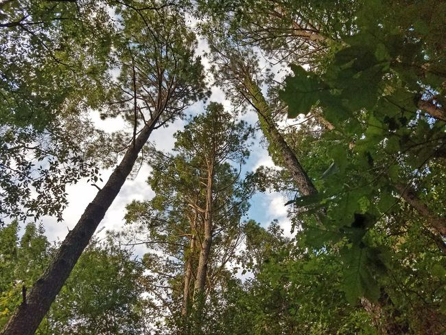 Topography Tree Trunks Foliage Blue Sky Sky Wood Bark Environment Woods Colors Colour Of Life Forest Nature Beauty In Nature Leaves Looking Up Green Tennessee Green Leaves Clouds Clouds And Sky Blue Magical Trees Trees Fairy Forest