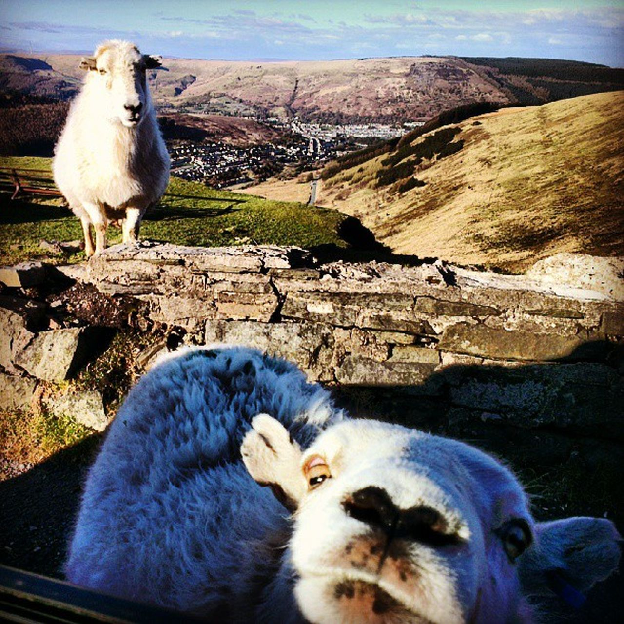 Don't run out of ice cream or these cheeky Bwlch Sheep will kick your car door in.