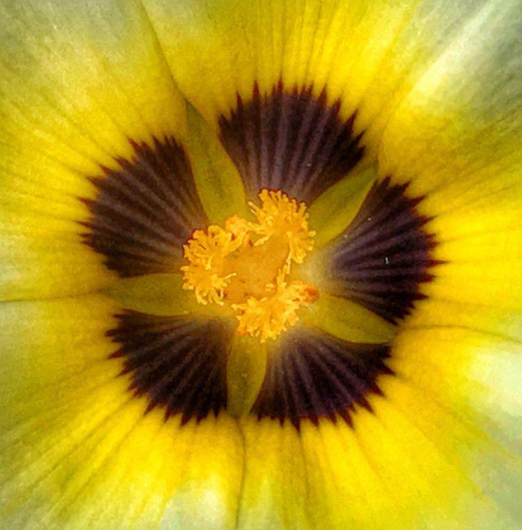 Full Frame Flower Head Close-up Star Burst Yellow Petals McKee Botanical Garden