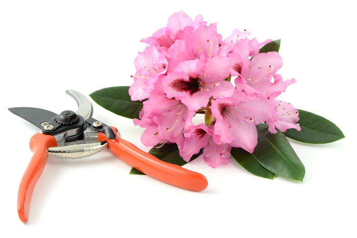 rhododendron flowers on white isolated background with garden tools Flower Flower Head Gardening Tools Gardentool Isolated Isolated On White Isolated White Background Rhododendron Rhododendronblossoms Rhododendroninbloom Rhododendrons Shears Studio Shot White Background
