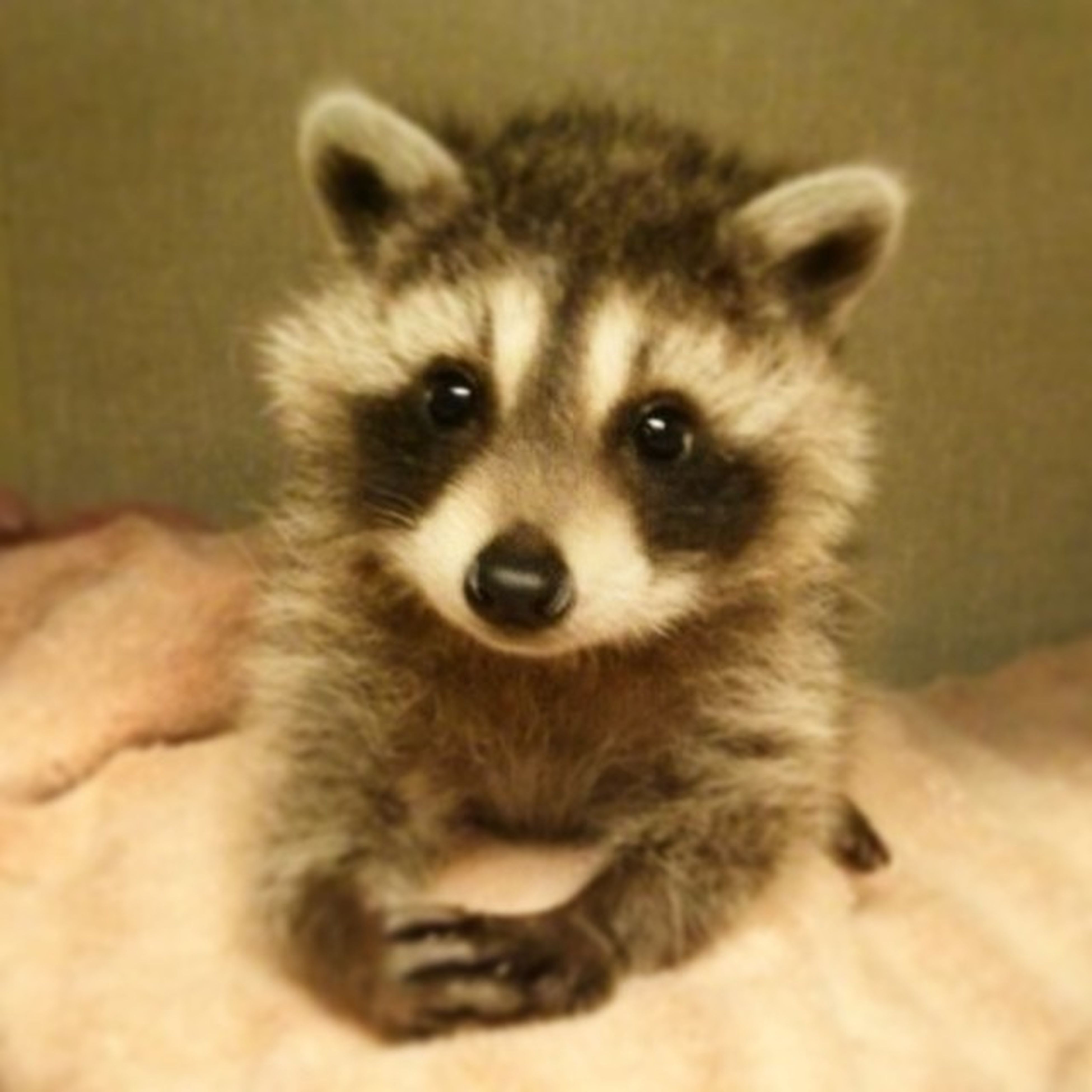 Raccoon Szop Słodki Chce TBT  Instagood Animal